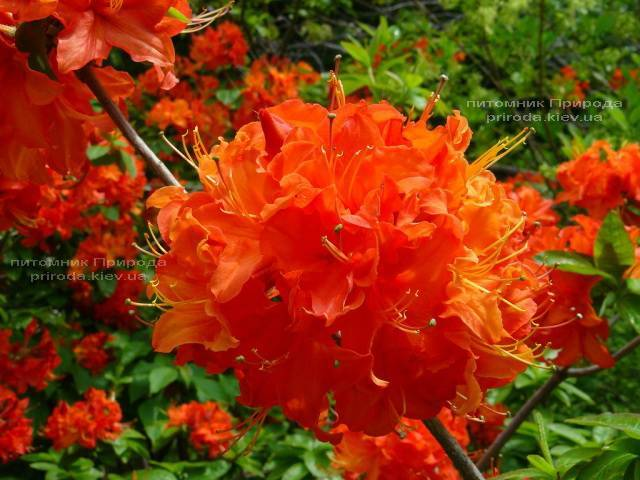 Азалия садовая крупноцветковая Мандарин Лайт (Рододендрон листопадный Rhododendron Mandarin Lights) (1)