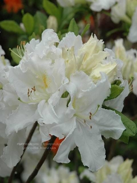 Азалия садовая крупноцветковая Оксидол (Рододендрон листопадный Rhododendron Oxydol) (2)
