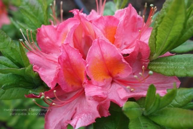Азалия садовая крупноцветковая Пинк Делайт (Рододендрон листопадный Rhododendron Pink Delight) (3)