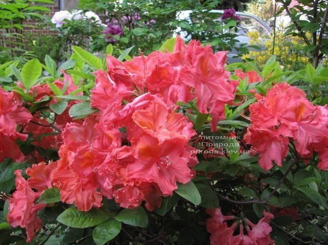Азалия садовая крупноцветковая Сарина (Рододендрон листопадный Rhododendron Sarina) (2)