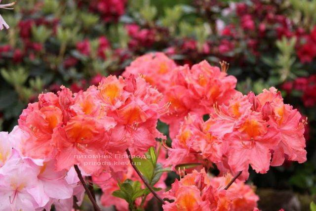 Азалия садовая крупноцветковая Сарина (Рододендрон листопадный Rhododendron Sarina) (3)