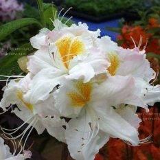 Азалия садовая крупноцветковая Шнееголд (Рододендрон листопадный Rhododendron Schneegold) (2)