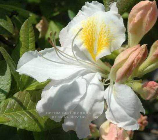 Азалия садовая крупноцветковая Шнееголд (Рододендрон листопадный Rhododendron Schneegold) (4)