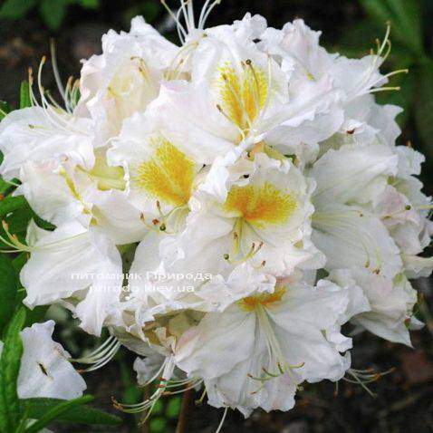 Азалия садовая крупноцветковая Шнееголд (Рододендрон листопадный Rhododendron Schneegold) (5)