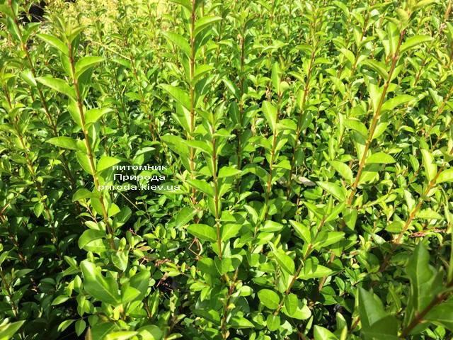 Бирючина обыкновенная Атровиренс (Ligustrum vulgare Atrovirens) ФОТО Питомник растений Природа (Priroda) (11)