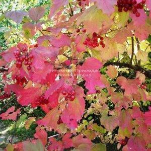 Калина красная / обыкновенная (Viburnum opulus) ФОТО Питомник растений Природа (Priroda)