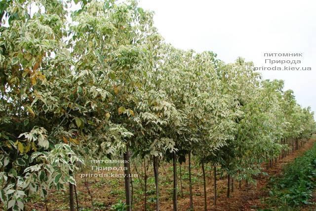 Клён ясенелистный Фламинго (Acer negundo Flamingo) ФОТО Питомник растений Природа (Priroda) (2)