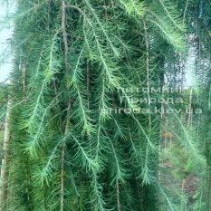 Лиственница японская Стиф Випер (Larix kaempferi Stiff Weeper) на штамбе ФОТО Питомник растений Природа (Priroda) (2)