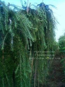 Лиственница японская Стиф Випер (Larix kaempferi Stiff Weeper) на штамбе ФОТО Питомник растений Природа (Priroda) (3)