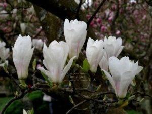Магнолия Суланжа Альба Суперба (Magnolia soulangeana Alba Superba) ФОТО Питомник растений Природа (Priroda) (2)