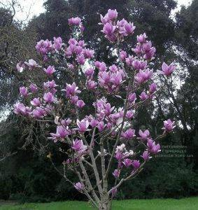 Магнолия Суланжа Александрина (Magnolia soulangeana Alexandrina) (2)