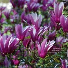 Магнолия лилиецветная Нигра (Magnolia lilliflora Nigra) ФОТО Питомник растений Природа (Priroda) (2)