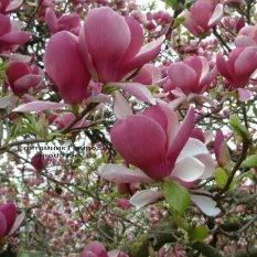 Магнолия Суланжа Рустика Рубра (Magnolia soulangeana Rustica Rubra) ФОТО Питомник растений Природа (Priroda) (1)