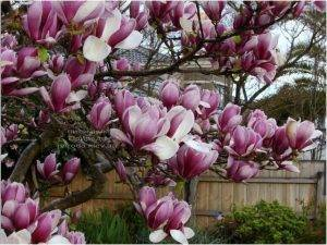 Магнолия Суланжа Рустика Рубра (Magnolia soulangeana Rustica Rubra) ФОТО Питомник растений Природа (Priroda) (2)