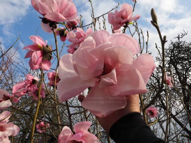 Магнолия Суланжа Сюзанна Ван Вин (Magnolia soulangeana Susanna van Veen) ФОТО Питомник растений Природа (Priroda) (2)