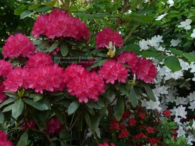 Рододендрон крупноцветковый Астрид (Rhododendron Astrid) (2)
