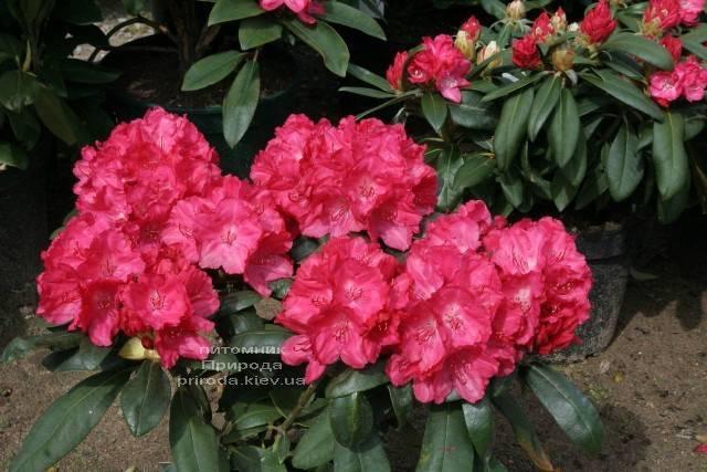 Рододендрон крупноцветковый Астрид (Rhododendron Astrid) (3)