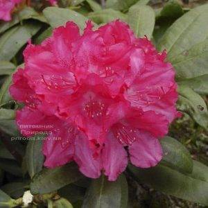 Рододендрон крупноцветковый Астрид (Rhododendron Astrid) (4)