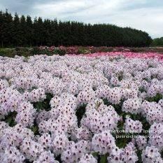 Рододендрон крупноцветковый Калсап (Rhododendron Calsap) (1)