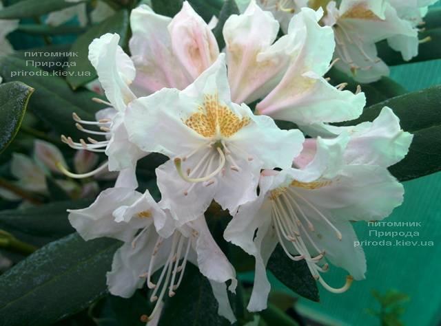 Рододендрон крупноцветковый Каннингемс Уайт (Rhododendron Cunningham's White) ФОТО Питомник растений Природа (Priroda) (1)