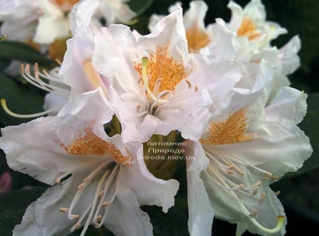 Рододендрон крупноцветковый Каннингемс Уайт (Rhododendron Cunningham's White) ФОТО Питомник растений Природа (Priroda) (2)