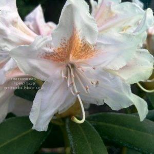 Рододендрон крупноцветковый Каннингемс Уайт (Rhododendron Cunningham's White) ФОТО Питомник растений Природа (Priroda) (3)