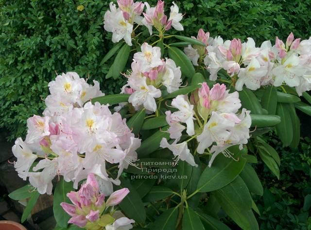 Рододендрон крупноцветковый Каннингемс Уайт (Rhododendron Cunningham's White) ФОТО Питомник растений Природа (Priroda) (4)