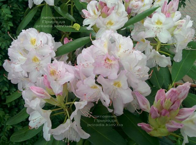 Рододендрон крупноцветковый Каннингемс Уайт (Rhododendron Cunningham's White) ФОТО Питомник растений Природа (Priroda) (5)