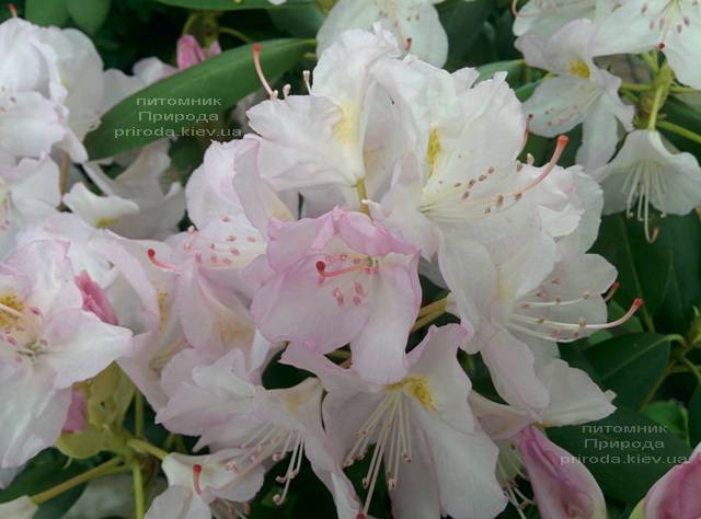 Рододендрон крупноцветковый Каннингемс Уайт (Rhododendron Cunningham's White) ФОТО Питомник растений Природа (Priroda) (6)
