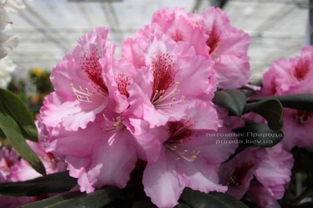 Рододендрон крупноцветковый Диадем (Rhododendron Diadem) ФОТО Питомник растений Природа (Priroda) (3)