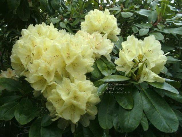 Рододендрон крупноцветковый Иренголд (Rhododendron Ehrengold) ФОТО Питомник растений Природа (Priroda) (1)