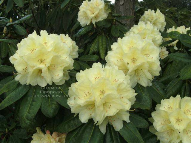 Рододендрон крупноцветковый Иренголд (Rhododendron Ehrengold) ФОТО Питомник растений Природа (Priroda) (2)