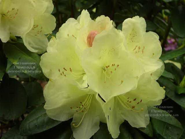 Рододендрон крупноцветковый Иренголд (Rhododendron Ehrengold) ФОТО Питомник растений Природа (Priroda) (3)