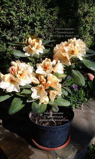 Рододендрон крупноцветковый Голдбукет (Rhododendron Goldbukett) ФОТО Питомник растений Природа (Priroda) (1)