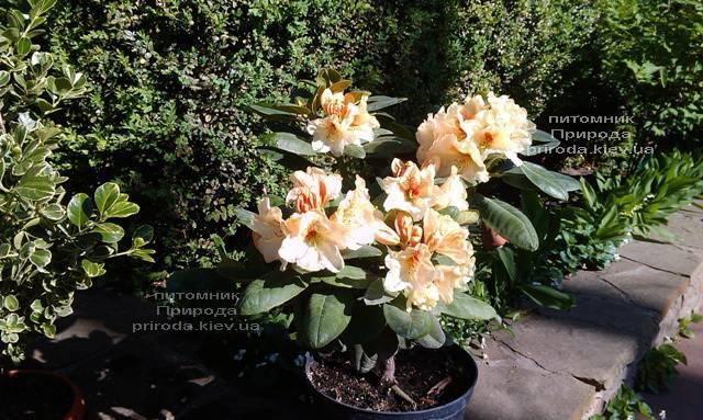 Рододендрон крупноцветковый Голдбукет (Rhododendron Goldbukett) ФОТО Питомник растений Природа (Priroda) (2)