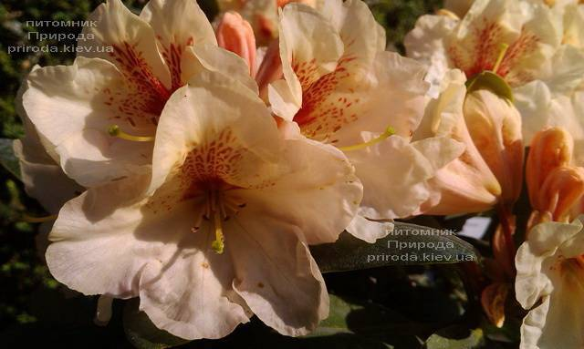 Рододендрон крупноцветковый Голдбукет (Rhododendron Goldbukett) ФОТО Питомник растений Природа (Priroda) (4)