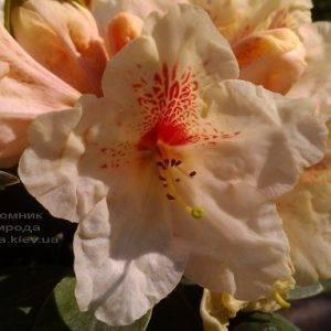 Рододендрон крупноцветковый Голдбукет (Rhododendron Goldbukett) ФОТО Питомник растений Природа (Priroda) (6)