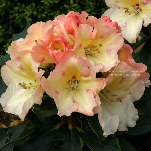 Рододендрон крупноцветковый Херайзен Монарх (Rhododendron Horizon Monarch) (2)