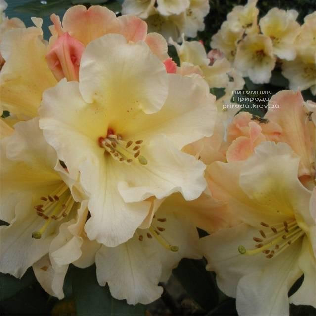 Рододендрон крупноцветковый Херайзен Монарх (Rhododendron Horizon Monarch) (3)