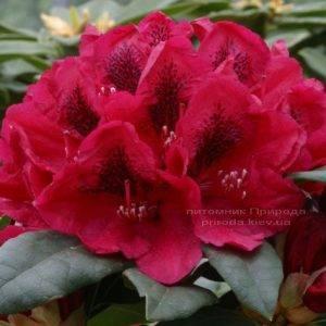Рододендрон крупноцветковый Лорд Робертс (Rhododendron Lord Roberts) (2)