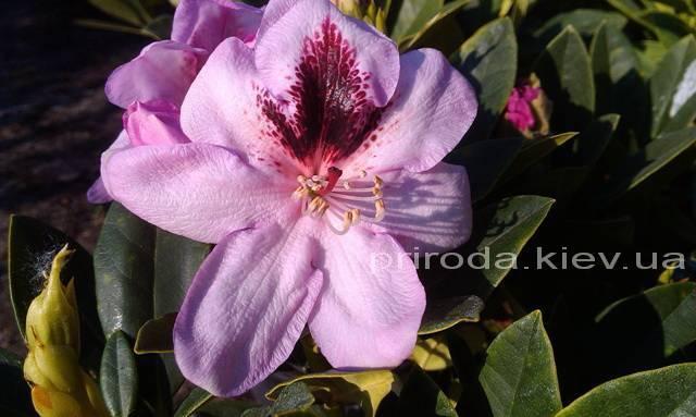 Рододендрон крупноцветковый Лугано (Rhododendron Lugano) ФОТО Питомник растений Природа (Priroda) (2)