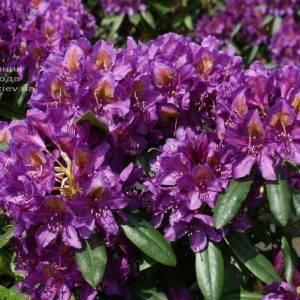 Рододендрон крупноцветковый Марсель Менард (Rhododendron Marcel Menard) (1)