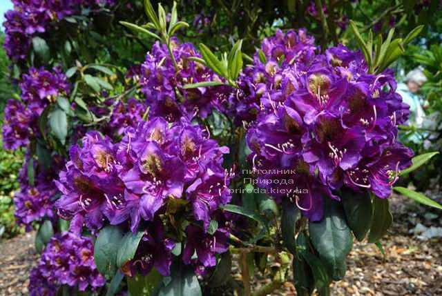 Рододендрон крупноцветковый Марсель Менард (Rhododendron Marcel Menard) (2)