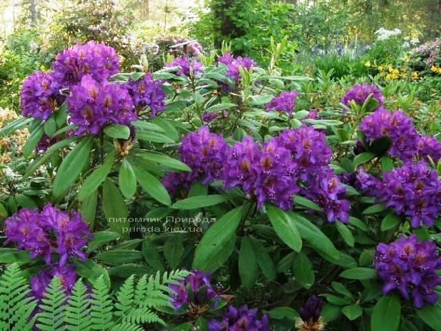 Рододендрон крупноцветковый Марсель Менард (Rhododendron Marcel Menard) (3)