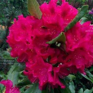 Рододендрон крупноцветковый Нова Зембла (Rododendron Nova Zembla) ФОТО Питомник растений Природа (Priroda) (8)