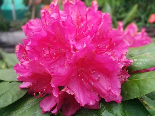 Рододендрон крупноцветковый Американ Бьюти (Rododendron Pearces American Beauty) ФОТО Питомник растений Природа (Priroda) (7)
