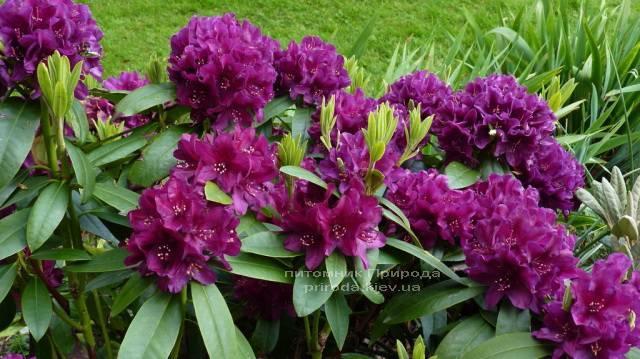 Рододендрон крупноцветковый Поларнэхт (Rhododendron Polarnacht) (1)