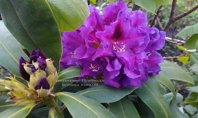 Рододендрон крупноцветковый Распутин (Rhododendron Rasputin) ФОТО Питомник растений Природа (Priroda) (11)