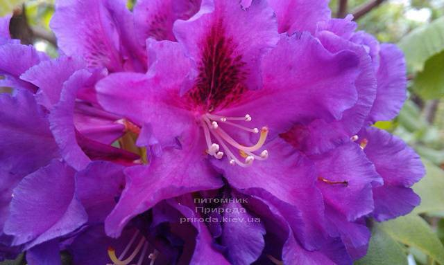 Рододендрон крупноцветковый Распутин (Rhododendron Rasputin) ФОТО Питомник растений Природа (Priroda) (12)