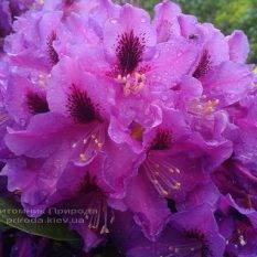 Рододендрон крупноцветковый Распутин (Rhododendron Rasputin) ФОТО Питомник растений Природа (Priroda) (14)